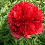 Pioenroos Hybrid Red Grace