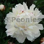 Pioenroos Lactiflora Shirley Temple