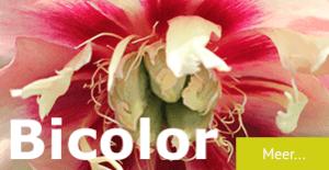 Pioenrozen Bicolor